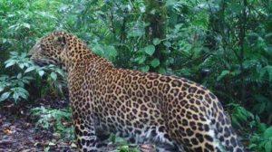 Perempuan India Diterkam Macan Tutul Saat Duduk di Teras Rumah