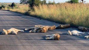 Viral di Medsos, Kawanan Singa yang Nikmati Masa Lockdown di Afrika Selatan